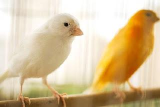Ide nama untuk burung kenari