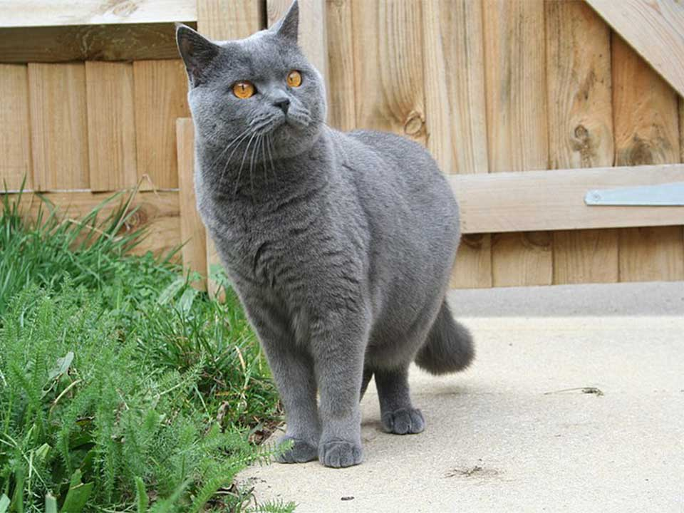 British Shorthair Cat is very Sweet-Natured and Devoted to ...