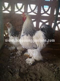 Indukan Ayam Brahma