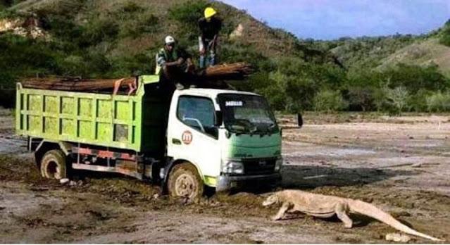 Viral Foto Komodo Hadang Truk Proyek 'Jurassic Park', #savekomodo Bergema