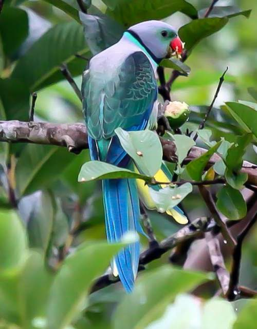 Indian birds - Picture of Blue-winged parakeet - Psittacula columboides