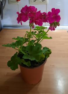 Jardinería súper fácil. Como cuidar geranios. Blog Tu solución diaria.