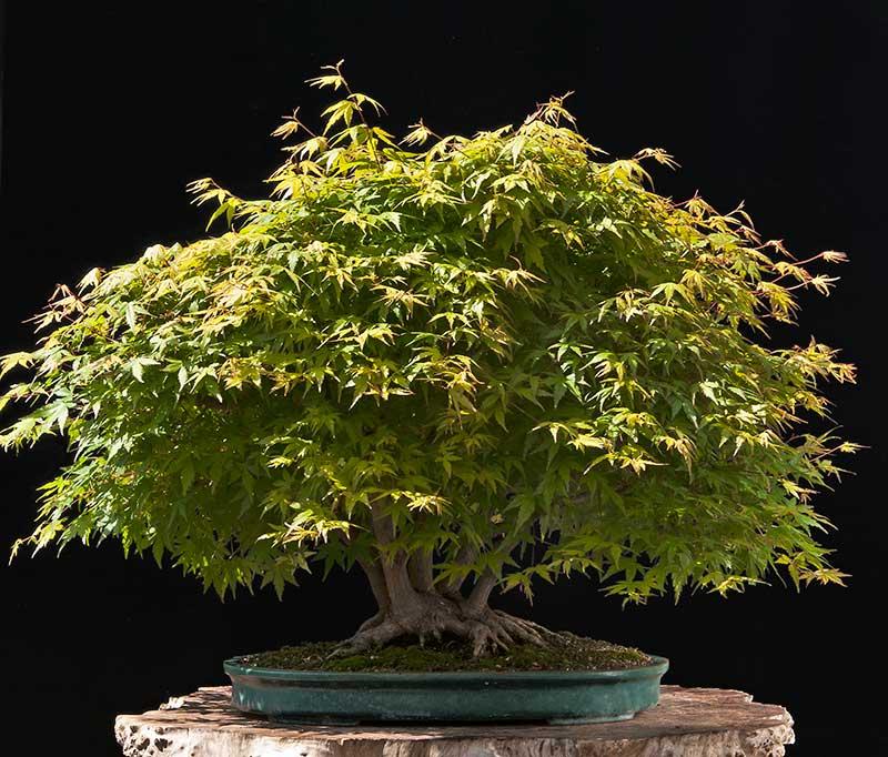 Walter Pall Bonsai Adventures Refurbishing A Japanese Maple The Hedge Cutting Method