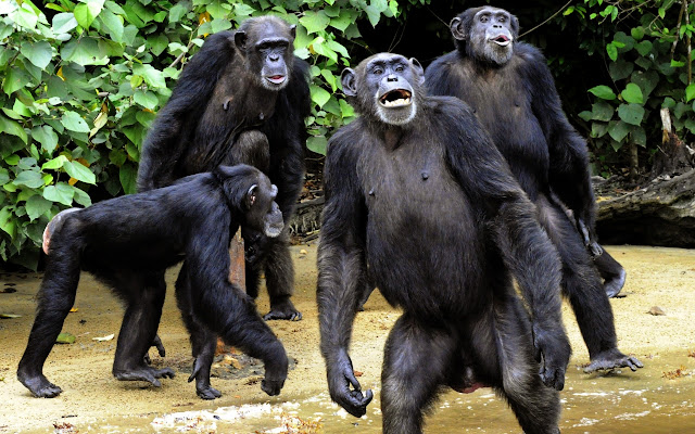 Chimpanzee 'super strength' and what it might mean in human muscle evolution