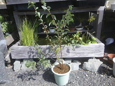 コデマリ 鉢植え
