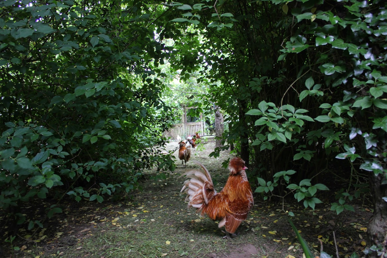 Polish chamois roosters in a forest garden