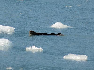 Sea Otter is Endangered in Western Alaska