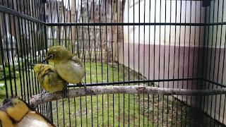 pakan untuk meningkatkan birahi burung pleci