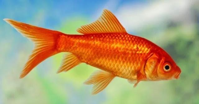 gambar ikan mas hias