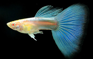 Harga Ikan Guppy Blue Moscow Albino Tahun 2016 - 2017