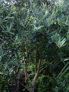 Olea europaea Olive tree Mediterranean gardens Green Fingered Blog