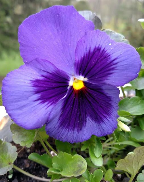 ultra violet pansy