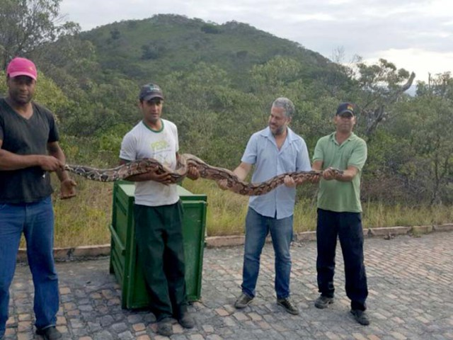 Jiboia de 2,4 metros é solta no Parque Estadual de Sete Passagens em Miguel Calmon
