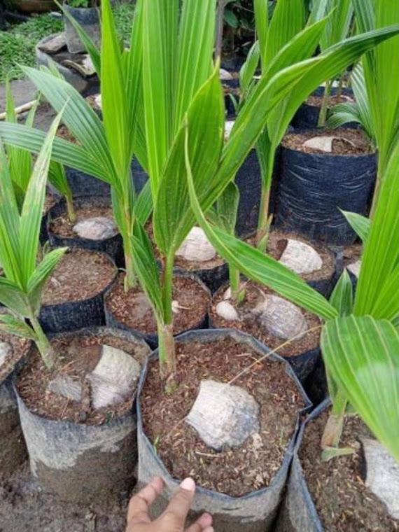 Bibit Kelapa Genjah Entok Hijau bibit kelepa kelapa entog Jawa Barat