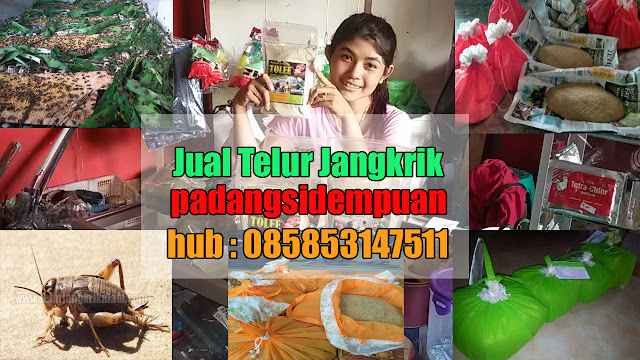 Anda mencari daerah jual telur jangkrik Kota Padangsidempuan Order WA 0858-5314-7511 Bibit Telur Jangkrik Kota Padangsidempuan