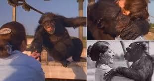 Шимпанзе улыбается и обнимает женщину, которая спасла его 25 лет назад