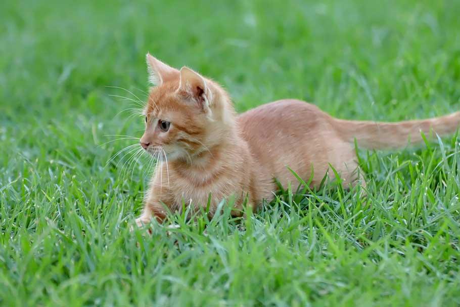 astroturf, cat