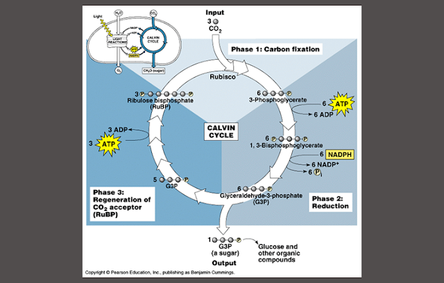 Anabolisme, Siklus Calvin