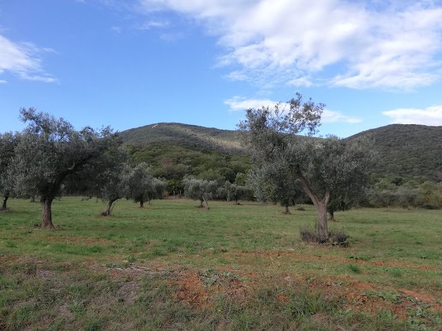 olive trees in the Maremma park in Alberese