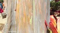 Rainbow eucalyptus bark close up - Dole Plantation, Oahu, HI