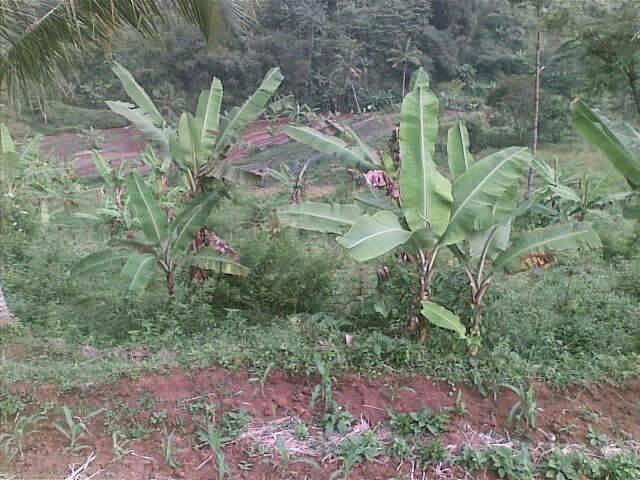 Foto(5727) dijual tanah / jual tanah murah di taman bunga nusantara-sukaresmi 3,1 ha jual tanah di sukaresmi jual tanah di taman bunga nusantara