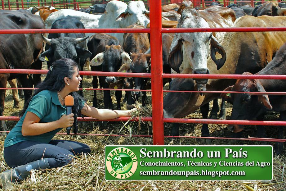 Joselyn Moreno alimentando a las vacas