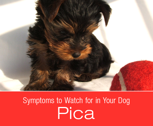 Symptoms to Watch for in Your Dog: Pica