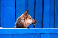 blue fence dog