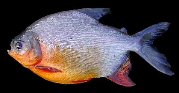 Terbaru 50 Gambar Ikan Lele Dan Bawal