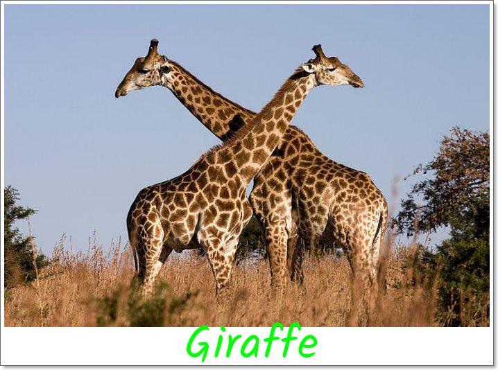 Giraffe-top-ten-biggest-animal-on-the-earth