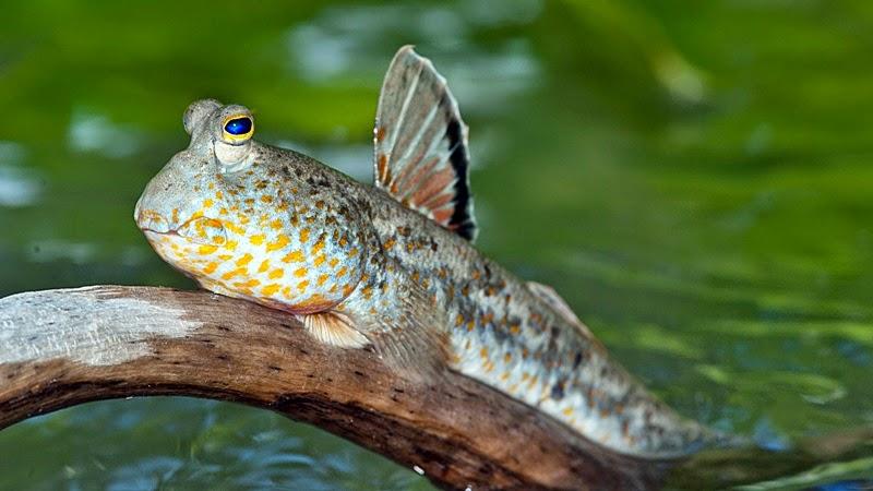 Mengenal Ikan Gelodok - Mudskipper