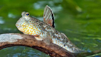 ikan pemanjat