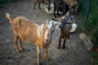 Soledade tem 4º maior rebanho de cabras da Paraíba e se destaca pelo melhoramento genético do rebanho
