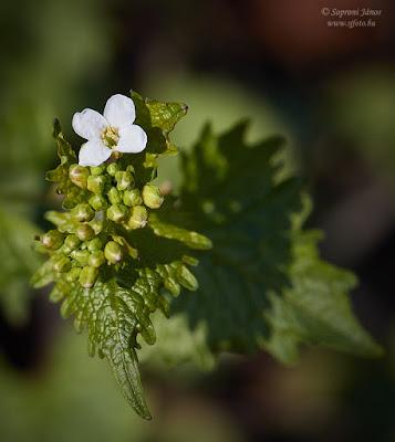Hagymaszagú kányazsombor - Alliaria petiolata