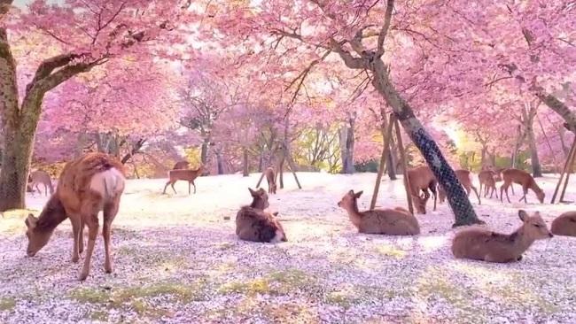 Cervos no Nara Park/Reprodução