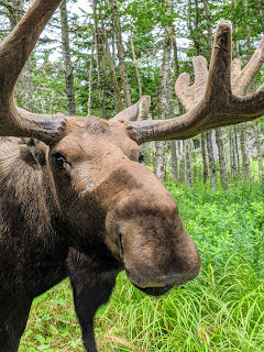 Close-up Of Eastern Moose