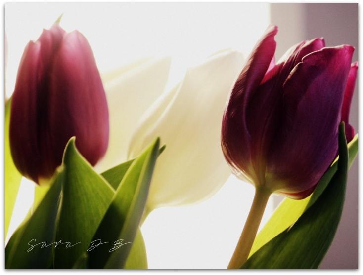 Tulipa tulips