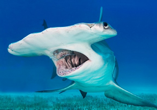 kepala unik hiu martil - HIU MARTIL SI PREDATOR BERKEPALA UNIK