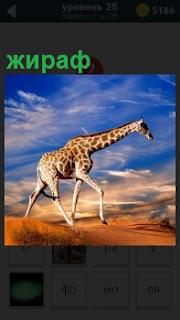 По пересеченной местности под голубым небом с облаками двигается жираф, передвигая свои длинные ноги