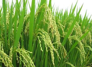 tanaman padi www.simplenews.me