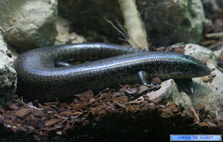 Plestiodon sp.