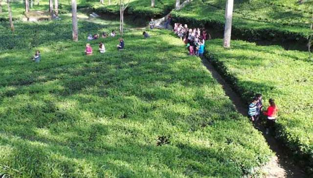 Kebun Teh dan Kolam Renang Tanjungsari