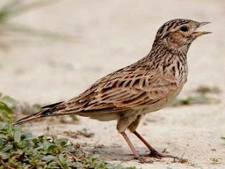 Download Suara Burung Eurasian Skylark Durasi 10 Menitan