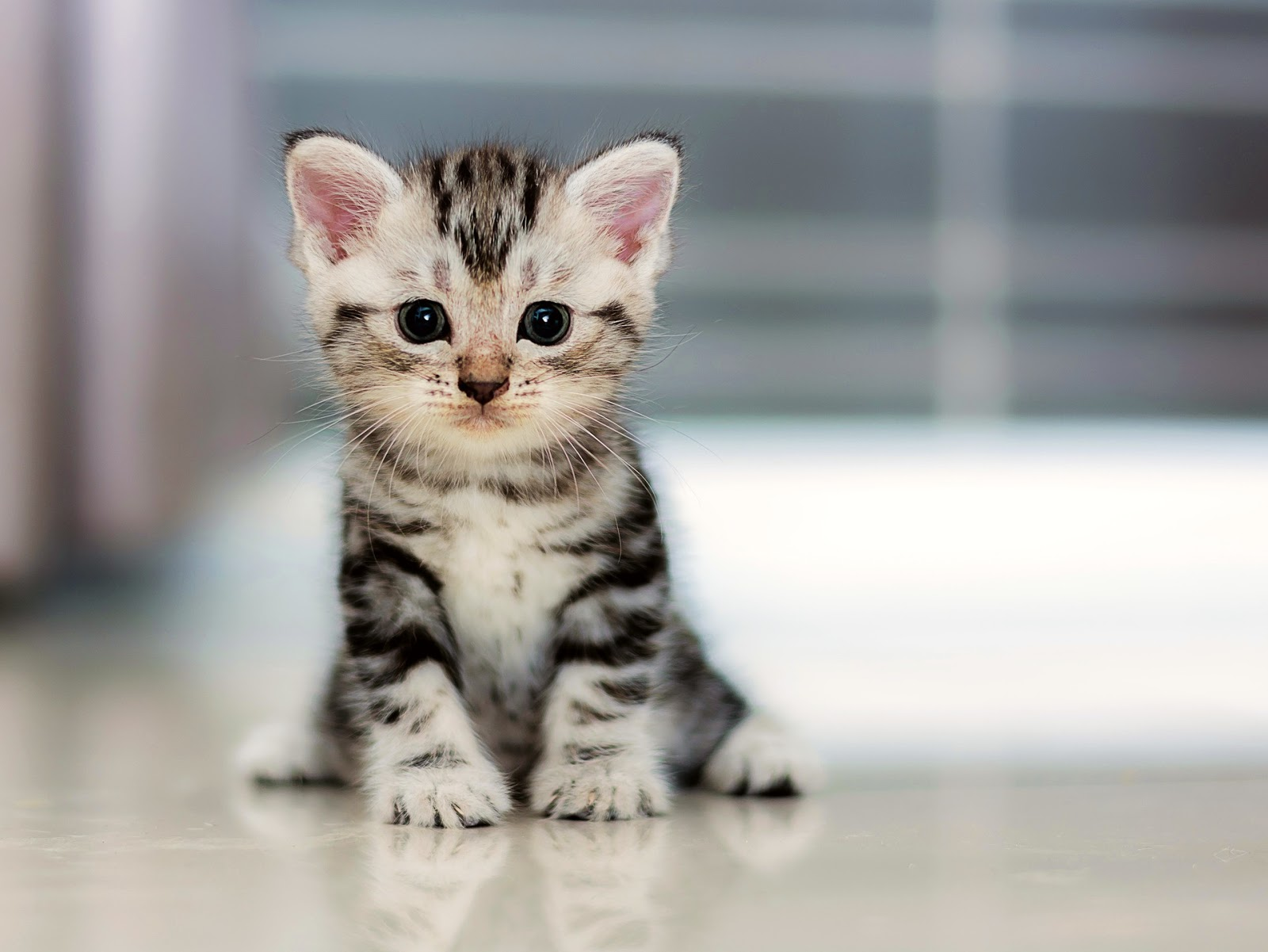 American Shorthair Cat Breed kitten