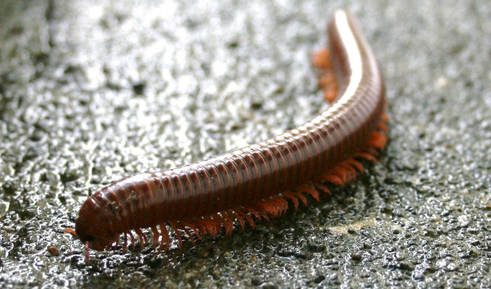 Go Back > Images For > Millipede Vs Centipede