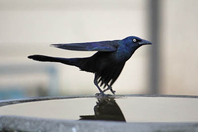 Photo of Common Grackle in bird bath. GeorgiaLens from Pixabay