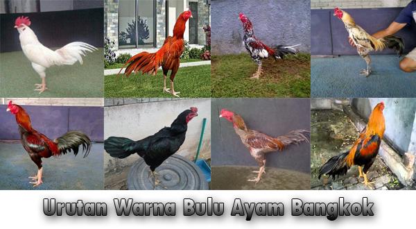 urutan warna bulu ayam bangkok secara lengkap