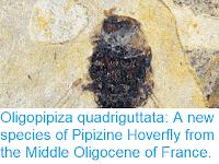 https://sciencythoughts.blogspot.com/2018/09/oligopipiza-quadriguttata-new-species.html