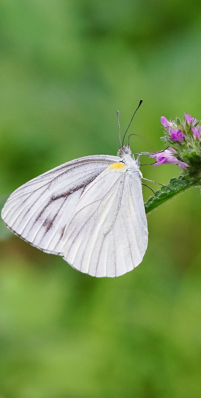 A lovely white butterfly.
