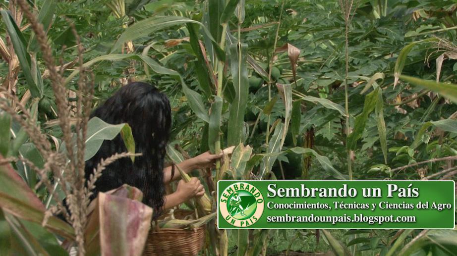 Joselyn Moreno cosechando maíz